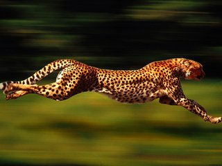 running_cheetah_320x240